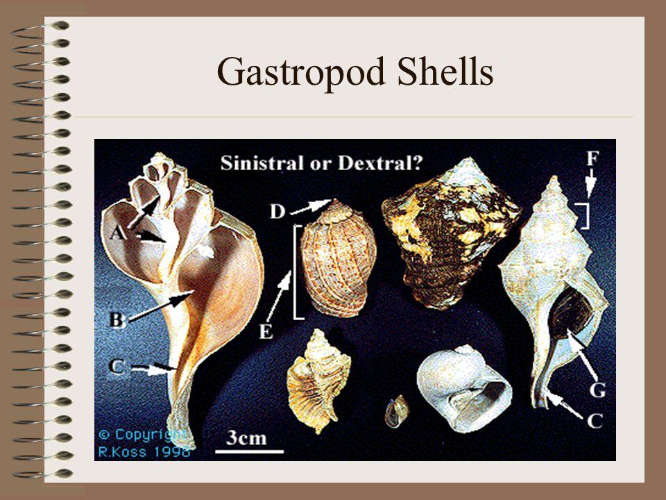 Gastropod Shells