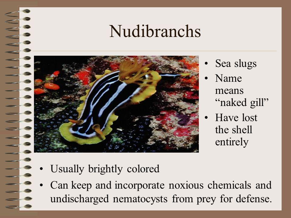 The Chambered Nautilus Have a smooth coiled shell up to 25 cm in diameter.