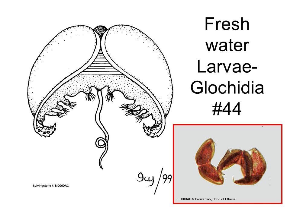 Fresh water Larvae- Glochidia #44