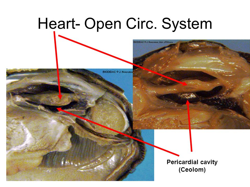 Heart- Open Circ. System Pericardial cavity (Ceolom)