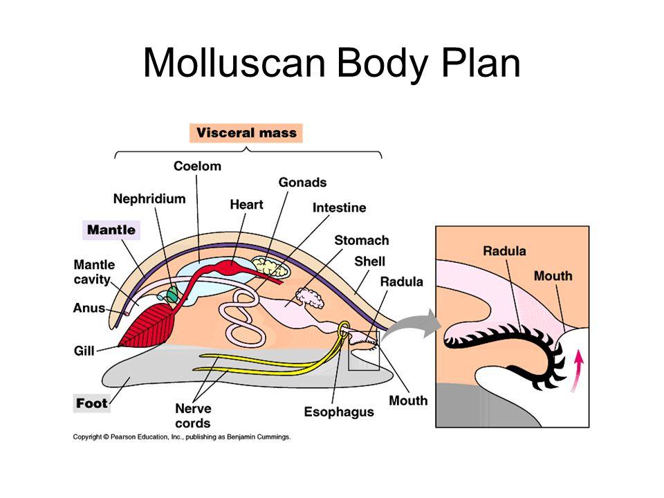 Molluscan Body Plan