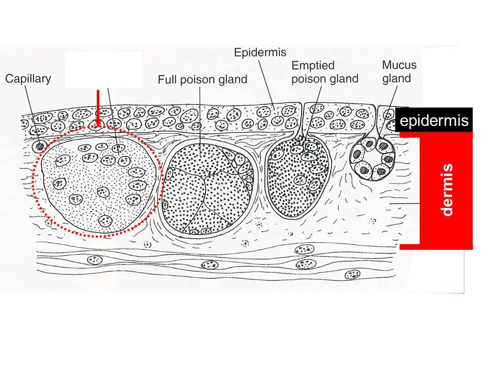 dermis epidermis