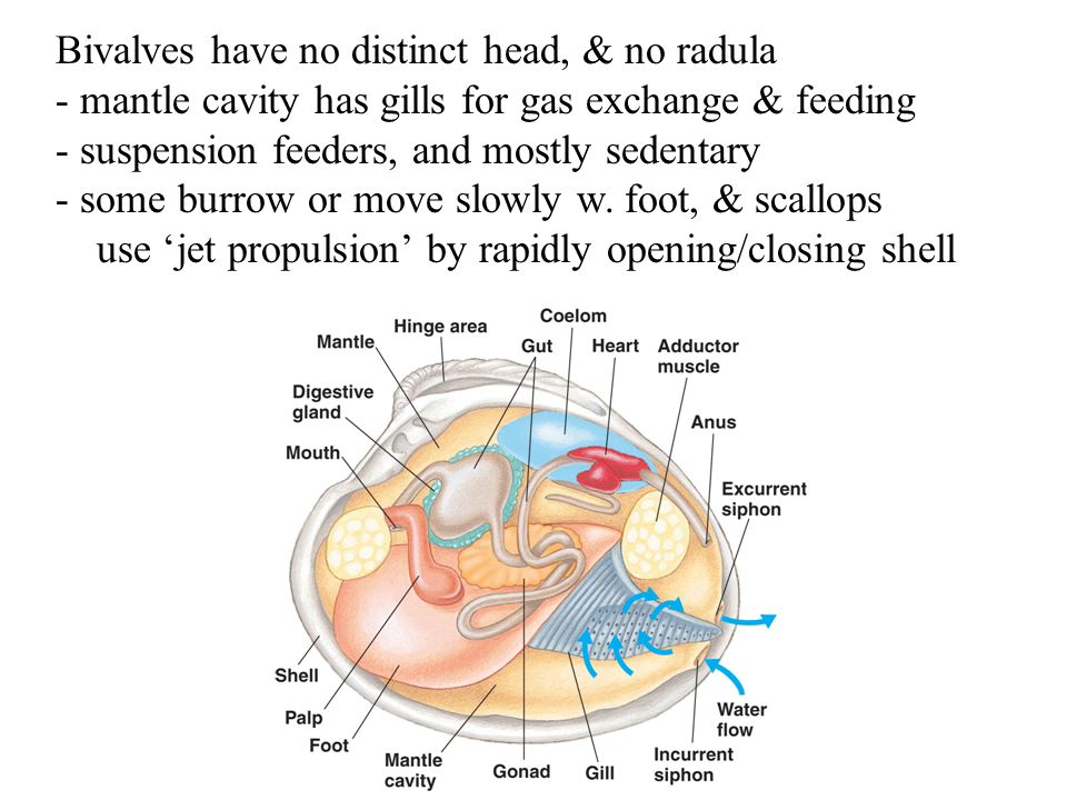 Bivalves have no distinct head, & no radula - mantle cavity has gills for gas exchange & feeding - suspension feeders, and mostly sedentary - some bur