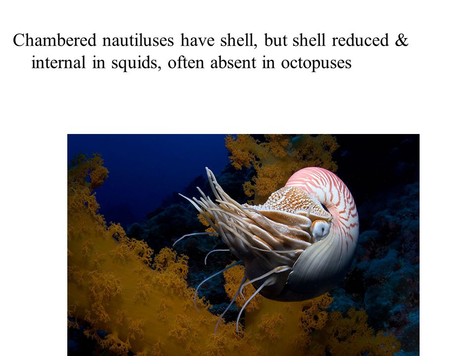 Chambered nautiluses have shell, but shell reduced & internal in squids, often absent in octopuses
