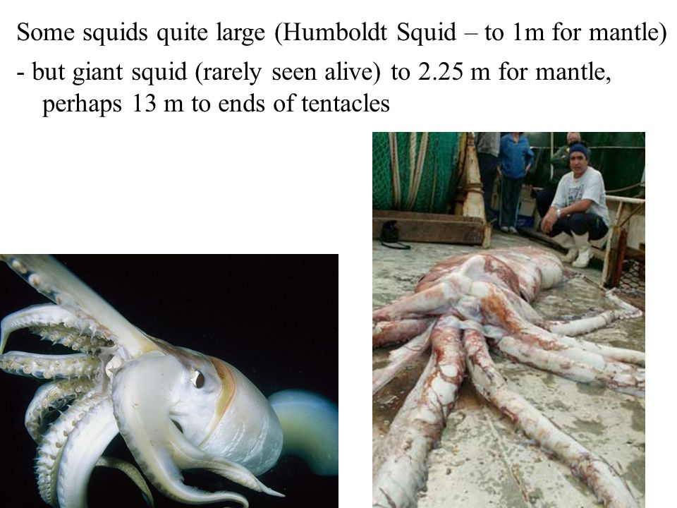 Some squids quite large (Humboldt Squid – to 1m for mantle) - but giant squid (rarely seen alive) to 2.25 m for mantle, perhaps 13 m to ends of tentac