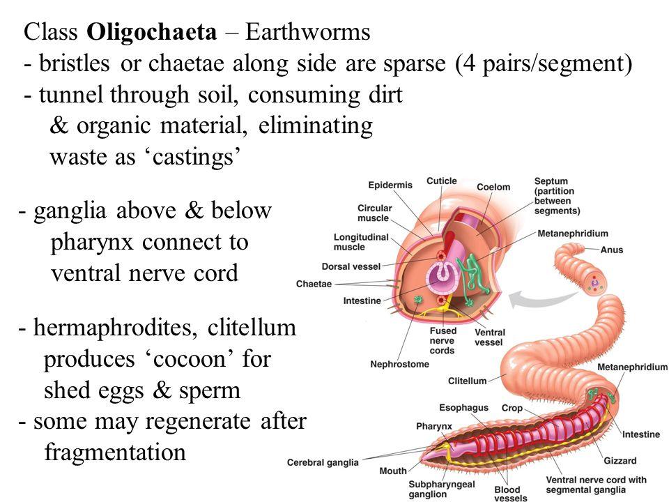 Class Oligochaeta – Earthworms - bristles or chaetae along side are sparse (4 pairs/segment) - tunnel through soil, consuming dirt & organic material,