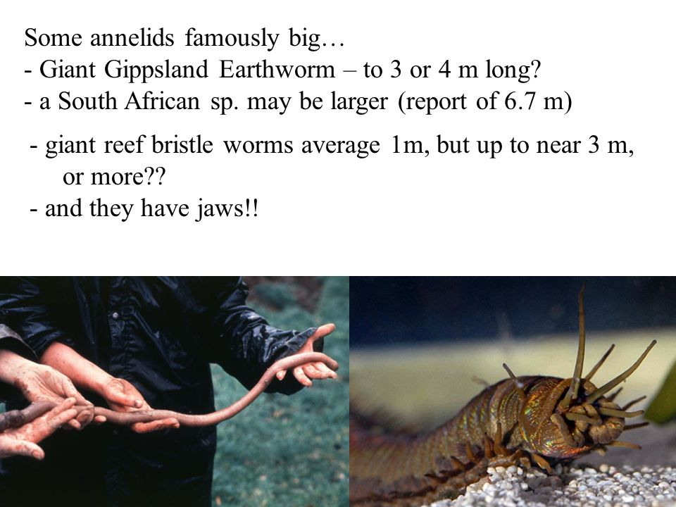 Some annelids famously big… - Giant Gippsland Earthworm – to 3 or 4 m long? - a South African sp. may be larger (report of 6.7 m) - giant reef bristle