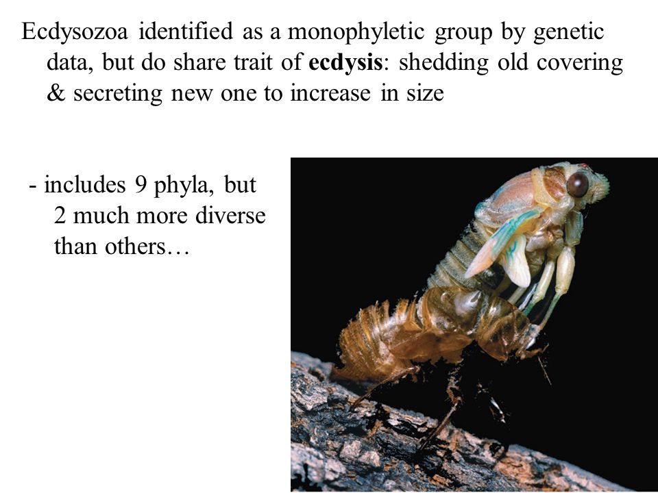 Ecdysozoa identified as a monophyletic group by genetic data, but do share trait of ecdysis: shedding old covering & secreting new one to increase in