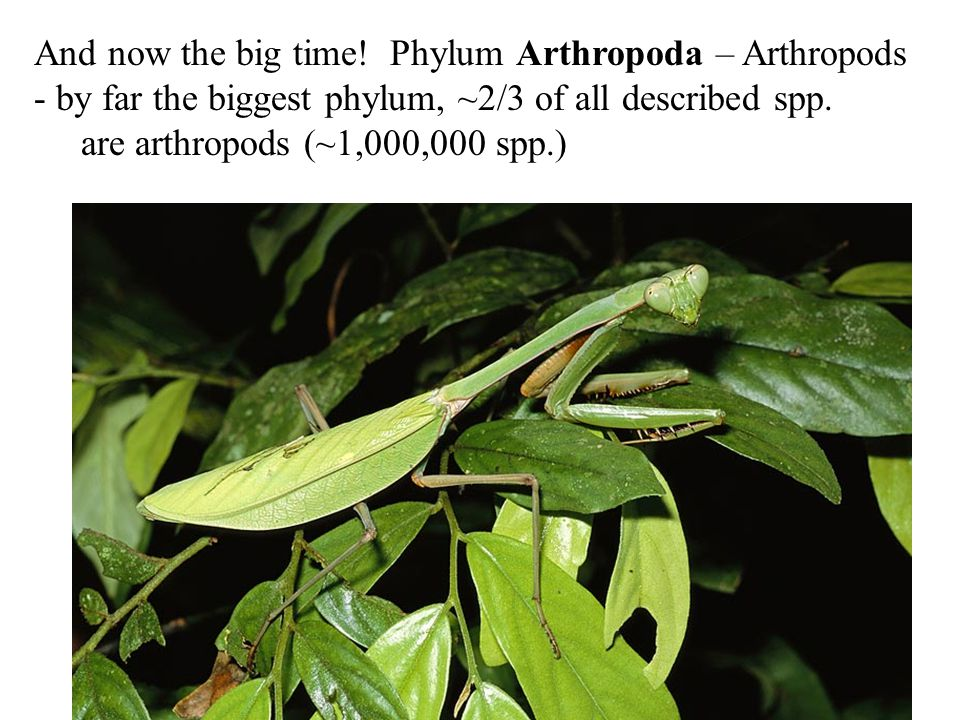 And now the big time! Phylum Arthropoda – Arthropods - by far the biggest phylum, ~2/3 of all described spp. are arthropods (~1,000,000 spp.)