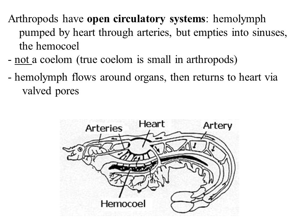 Arthropods have open circulatory systems: hemolymph pumped by heart through arteries, but empties into sinuses, the hemocoel - not a coelom (true coel