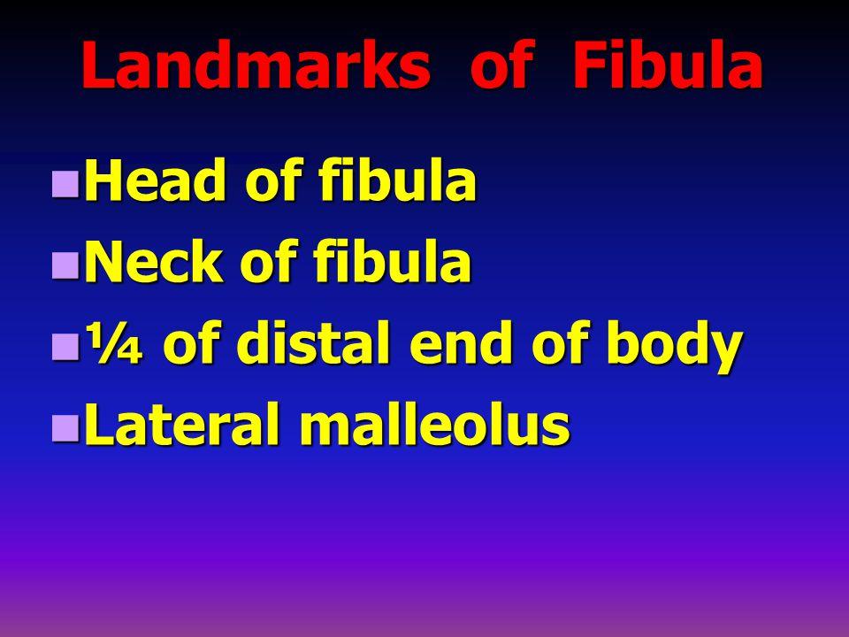 Landmarks of Fibula Landmarks of Fibula Head of fibula Head of fibula Neck of fibula Neck of fibula ¼ of distal end of body ¼ of distal end of body Lateral malleolus Lateral malleolus