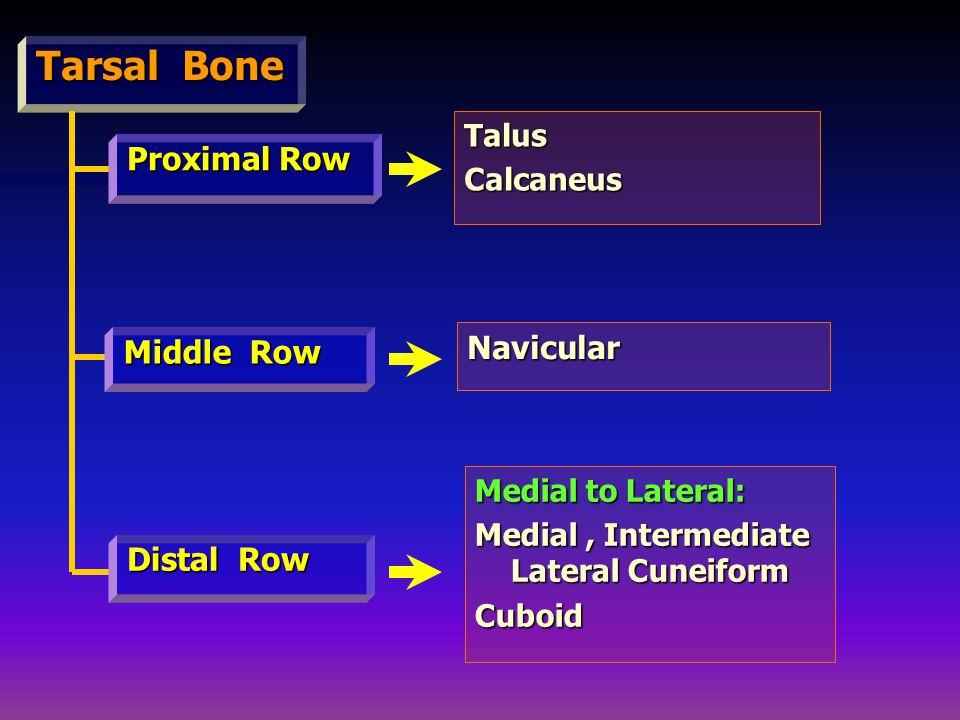 Tarsal Bone Proximal Row Distal Row Middle Row Talus Calcaneus Navicular Medial to Lateral: Medial to Lateral: Medial, Intermediate Lateral Cuneiform Medial, Intermediate Lateral Cuneiform Cuboid