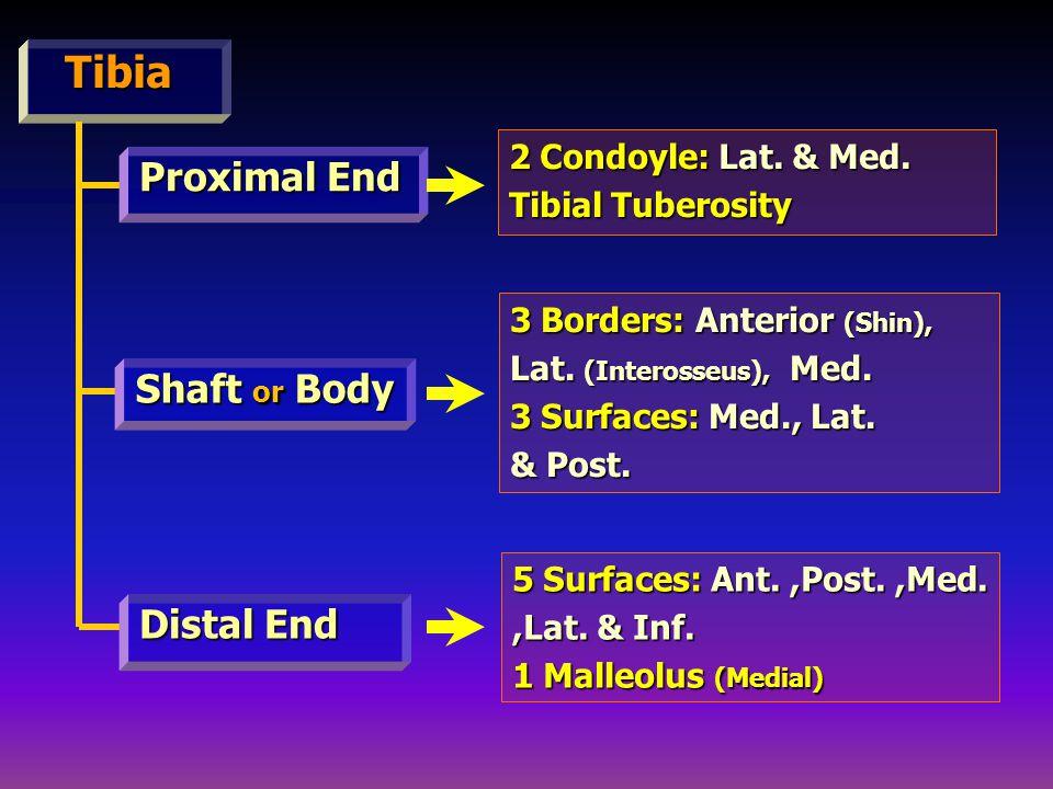 Tibia Tibia Proximal End Distal End Shaft or Body 2 Condoyle: Lat.