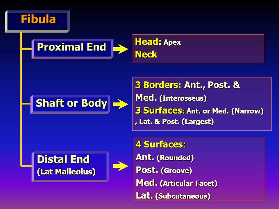 Fibula Fibula Proximal End Distal End (Lat Malleolus) Shaft or Body Head: Apex Head: Apex Neck 3 Borders: Ant., Post.