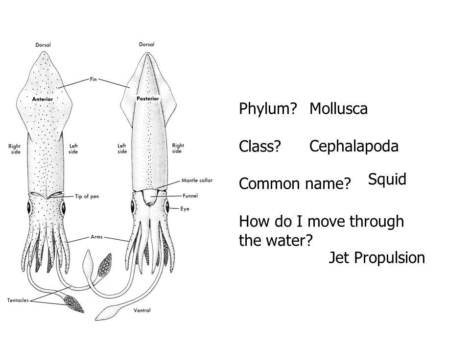 Phylum? Class? Common name? How do I move through the water? Mollusca Cephalapoda Squid Jet Propulsion