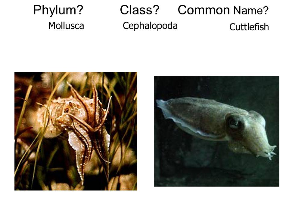 Phylum?Class?Common Name? MolluscaCephalopoda Cuttlefish