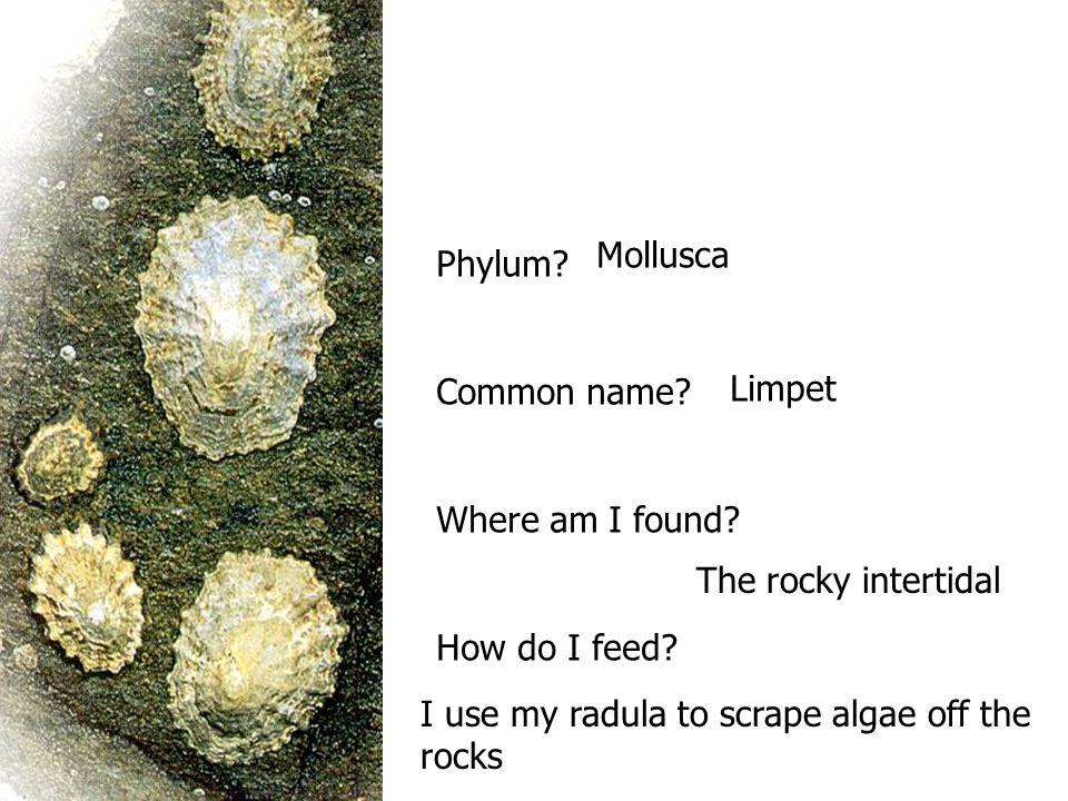 Phylum? Common name? Where am I found? How do I feed? Mollusca Limpet The rocky intertidal I use my radula to scrape algae off the rocks