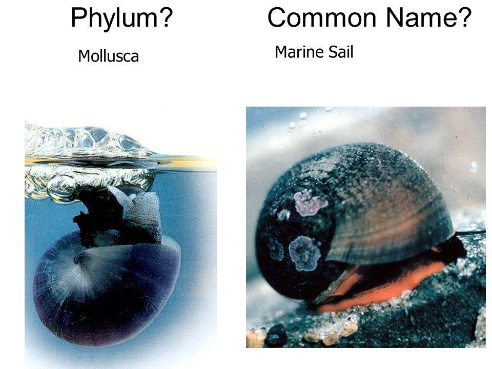 Phylum?Common Name? Mollusca Marine Sail