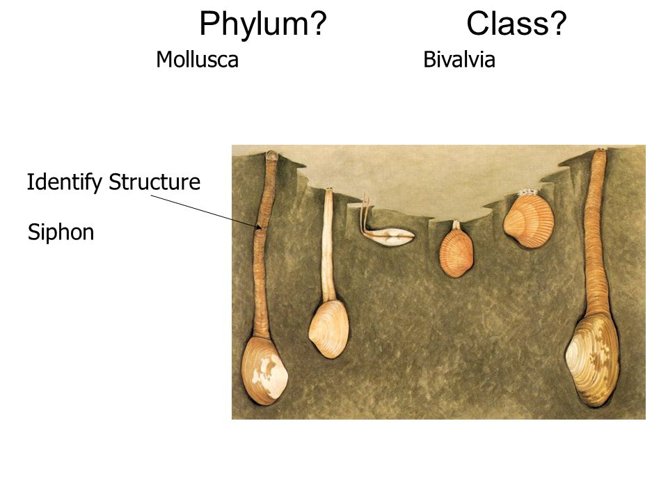 Phylum?Class? Identify Structure MolluscaBivalvia Siphon