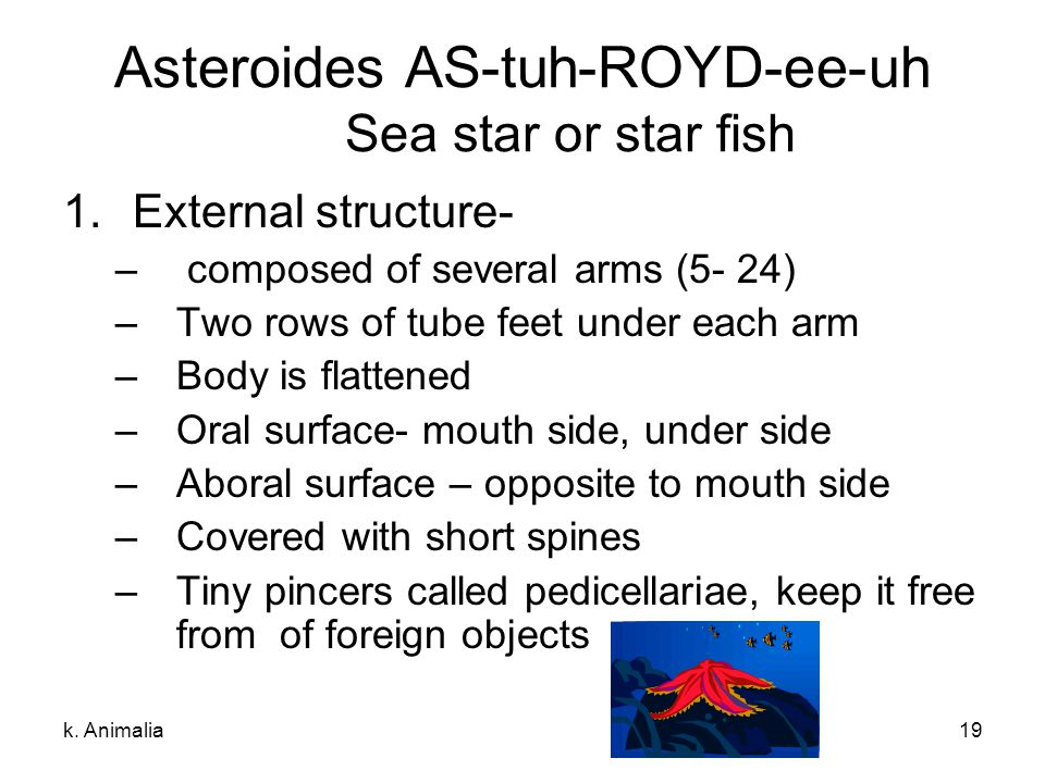 k. Animalia19 Asteroides AS-tuh-ROYD-ee-uh Sea star or star fish 1.External structure- – composed of several arms (5- 24) –Two rows of tube feet under