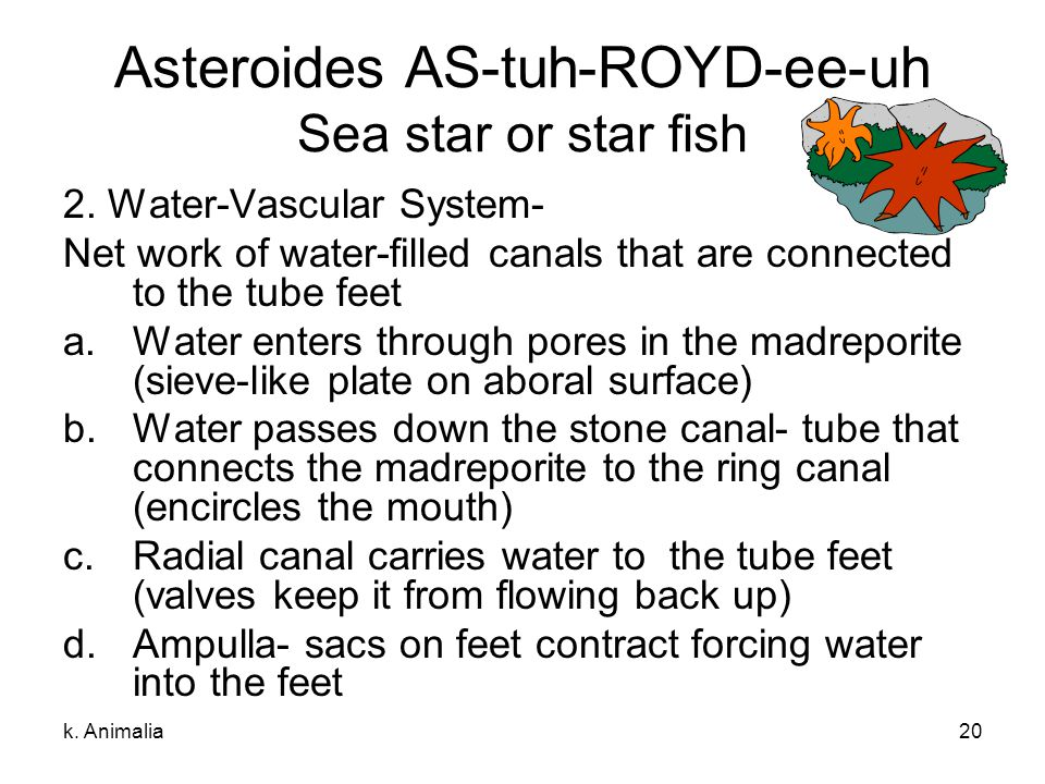 k. Animalia20 Asteroides AS-tuh-ROYD-ee-uh Sea star or star fish 2. Water-Vascular System- Net work of water-filled canals that are connected to the t