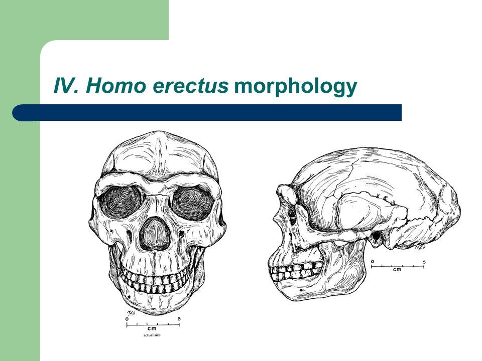 IV. Homo erectus morphology