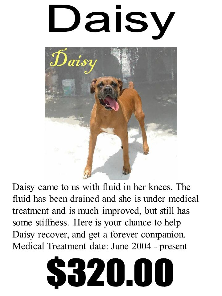 Daisy came to us with fluid in her knees.
