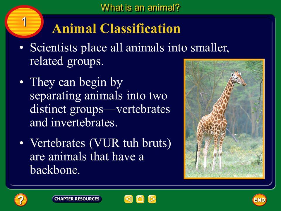 Cnidarian Reproduction Cnidarians reproduce asexually and sexually.