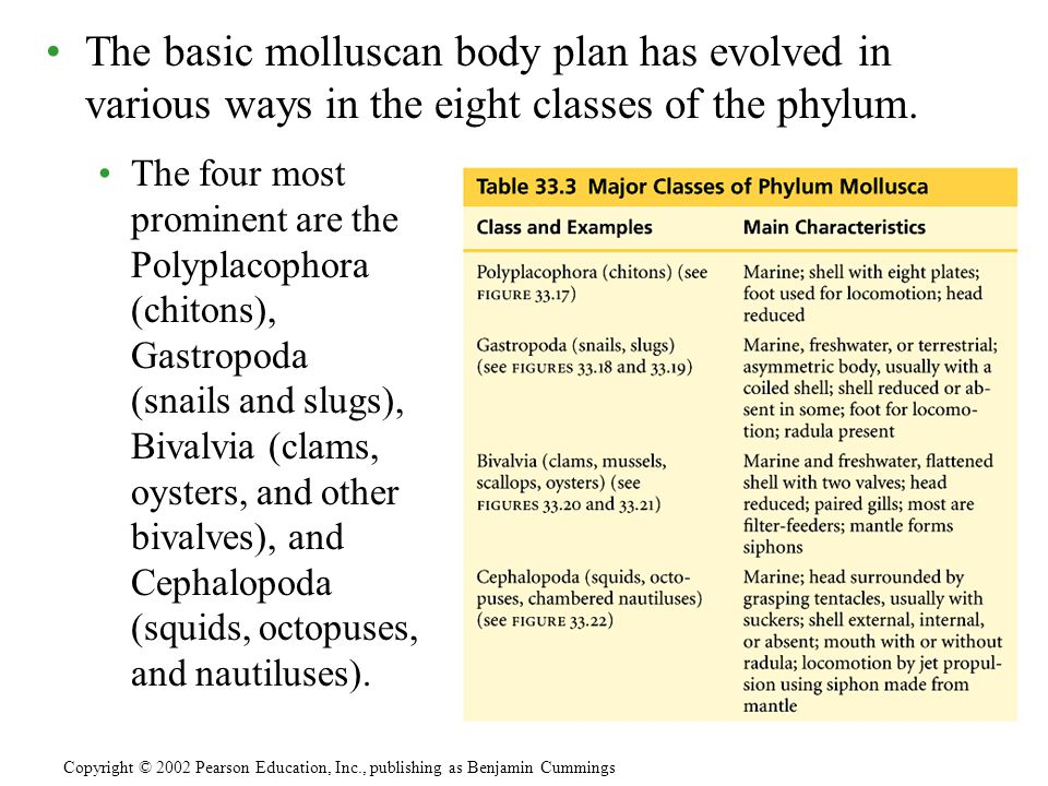 The basic molluscan body plan has evolved in various ways in the eight classes of the phylum.
