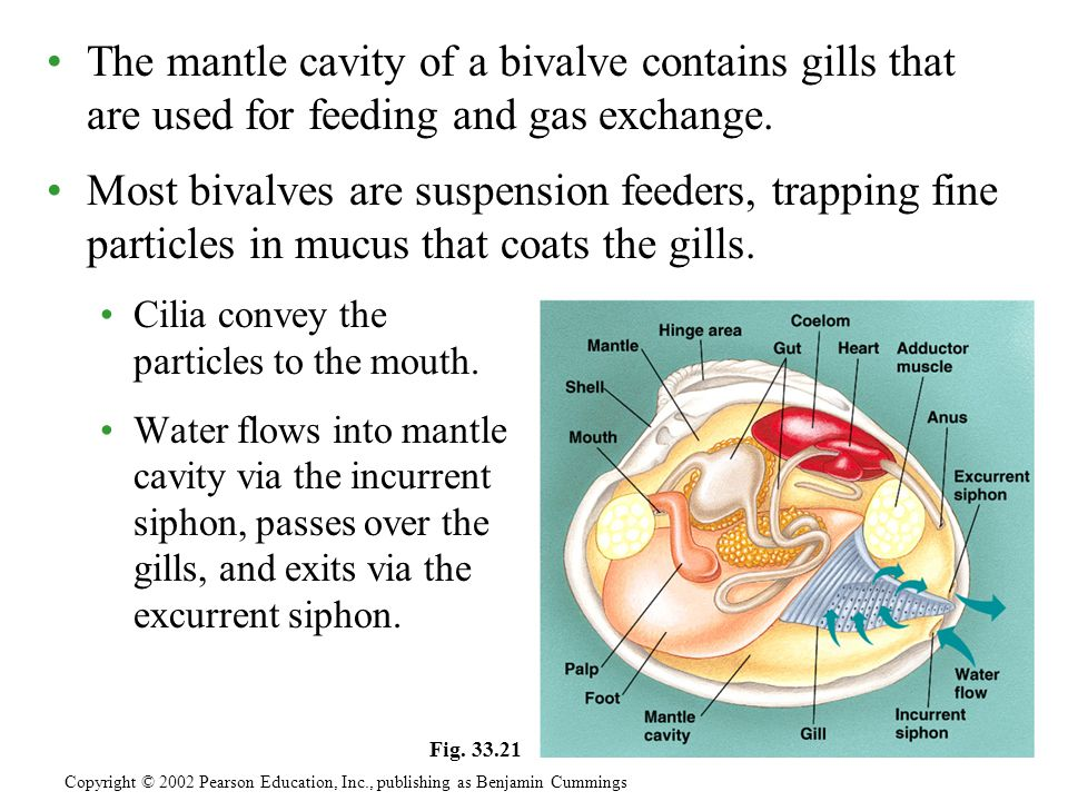 The mantle cavity of a bivalve contains gills that are used for feeding and gas exchange.