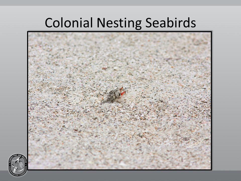 Colonial Nesting Seabirds
