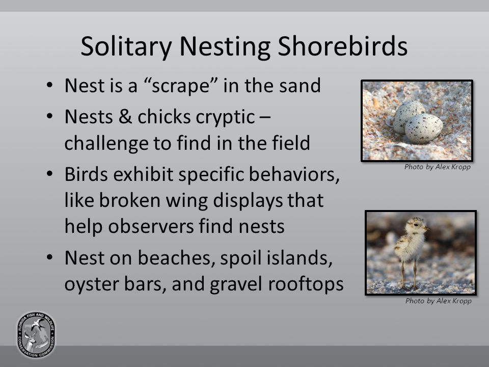 Solitary Nesting Shorebirds Nest is a scrape in the sand Nests & chicks cryptic – challenge to find in the field Birds exhibit specific behaviors, like broken wing displays that help observers find nests Nest on beaches, spoil islands, oyster bars, and gravel rooftops Photo by Alex Kropp