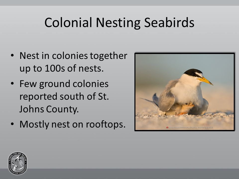 Colonial Nesting Seabirds Nest in colonies together up to 100s of nests.