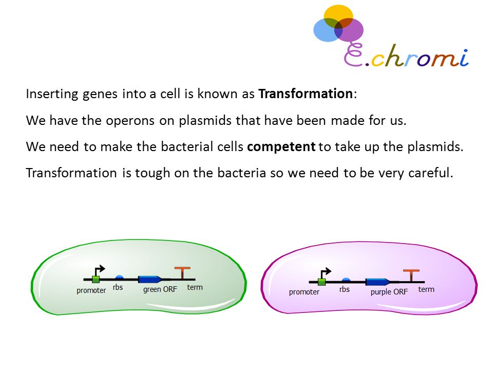 Inserting genes into a cell is known as Transformation: We have the operons on plasmids that have been made for us. We need to make the bacterial cell