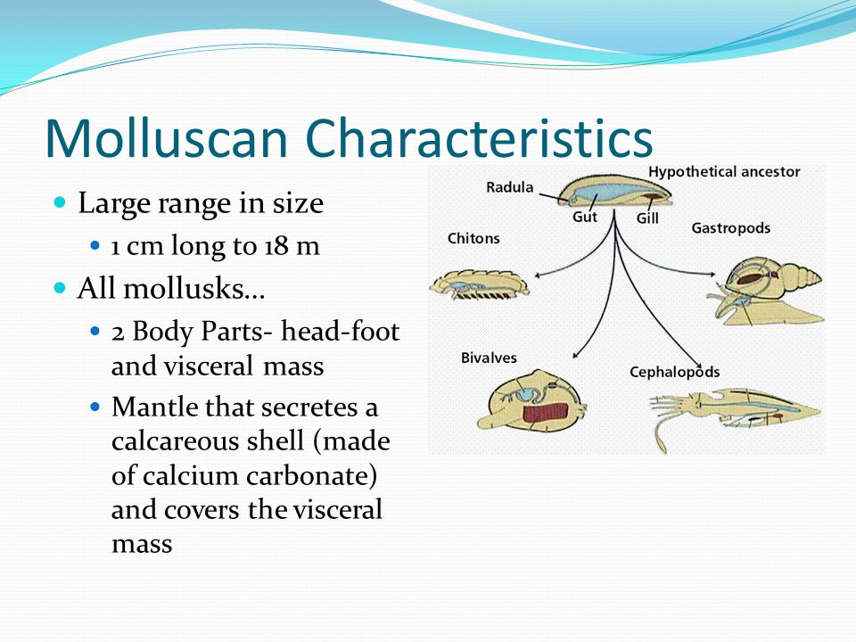 Molluscan Characteristics Large range in size 1 cm long to 18 m All mollusks… 2 Body Parts- head-foot and visceral mass Mantle that secretes a calcareous shell (made of calcium carbonate) and covers the visceral mass