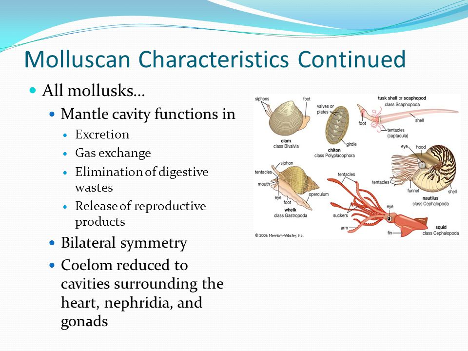 Molluscan Characteristics Continued All mollusks… Trocophore larvae (aquatic with cilia) Open circulatory system in all but one class (Cephalopoda) Radula usually present and used in scraping food