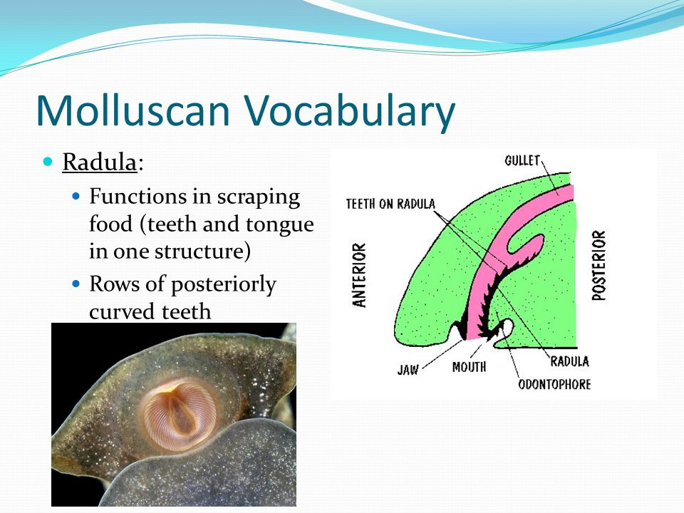 Molluscan Vocabulary Radula: Functions in scraping food (teeth and tongue in one structure) Rows of posteriorly curved teeth