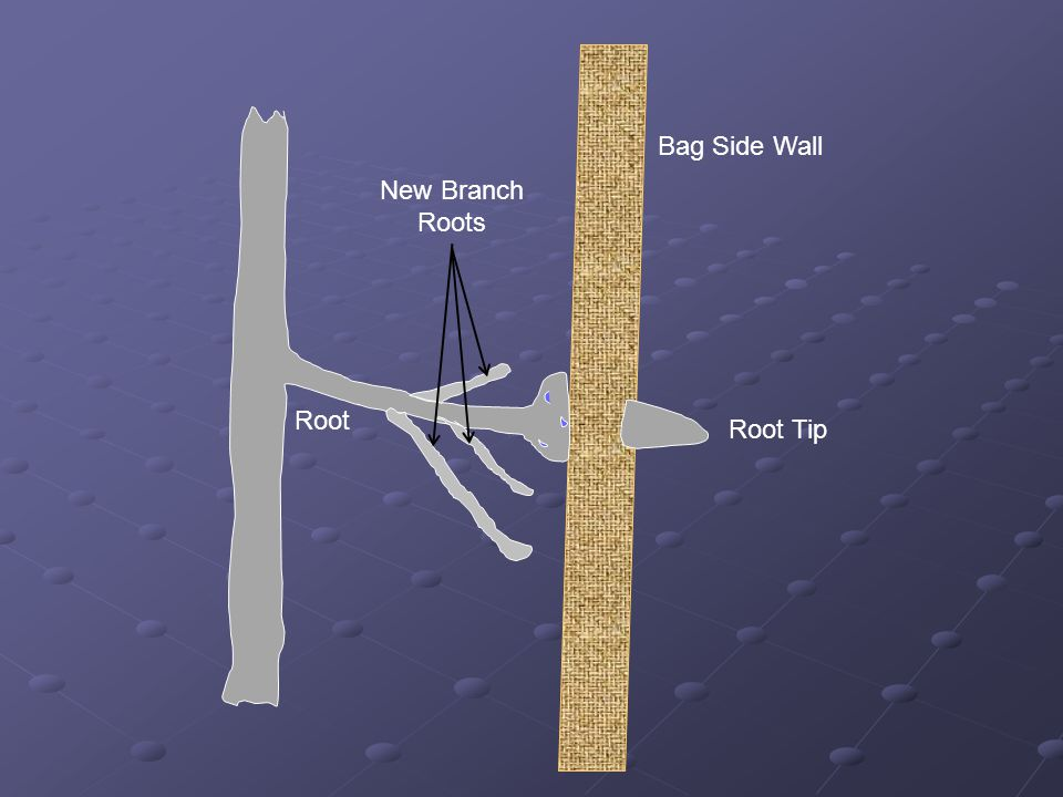 Bag Side Wall Root Root Tip New Branch Roots