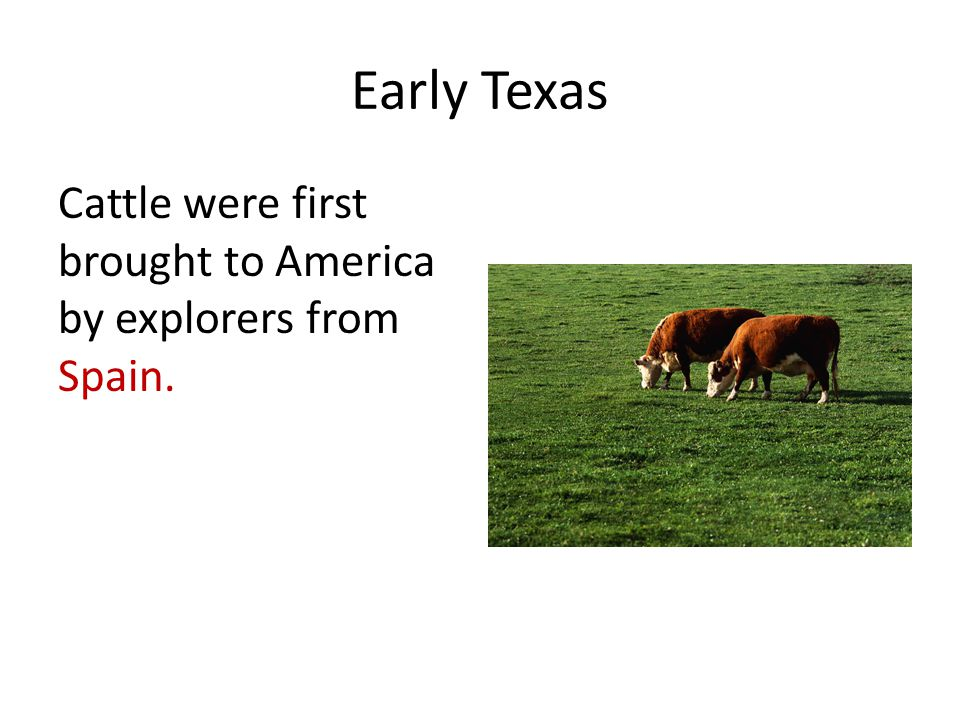 Early Texas Cattle were first brought to America by explorers from Spain.