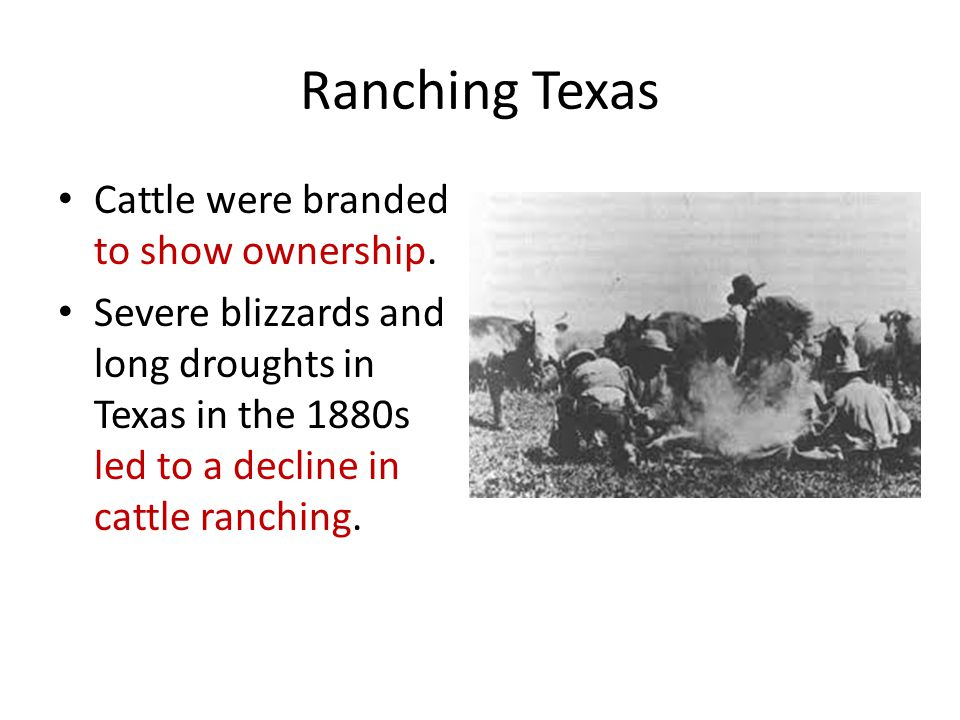 Ranching Texas Cattle were branded to show ownership.