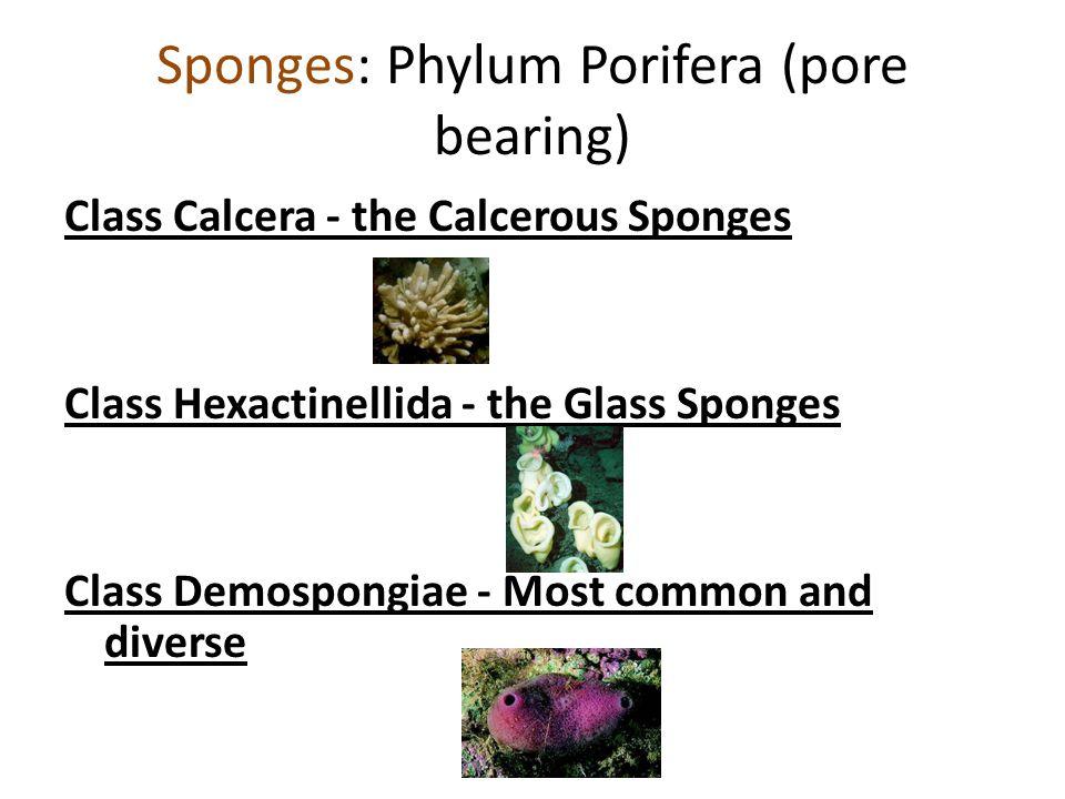 Sponges: Phylum Porifera (pore bearing) Class Calcera - the Calcerous Sponges Class Hexactinellida - the Glass Sponges Class Demospongiae - Most common and diverse