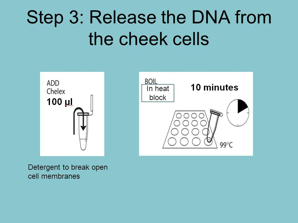 Part III: Digest DNA with HaeIII 10 μl Do this for both tubes 1 μl ONLY tube D Pulse only ONLY tube D Put Tube U back on ice.
