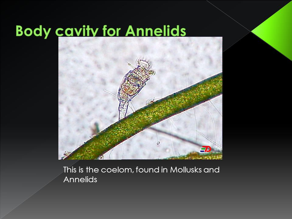This is the coelom, found in Mollusks and Annelids