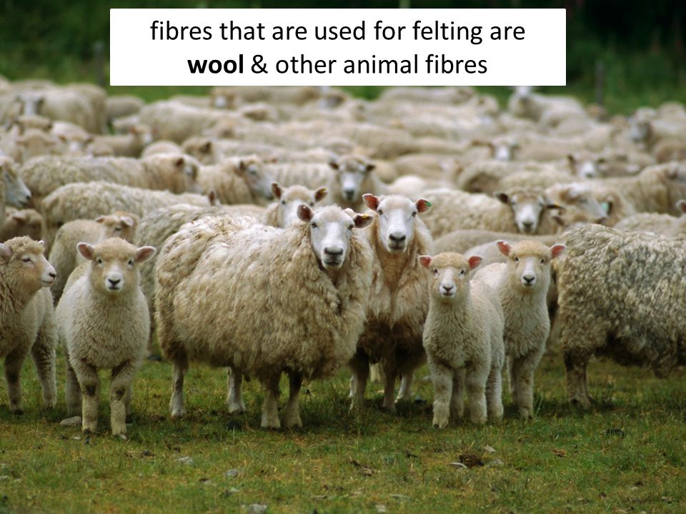 Sheep shearing is when the wool is taken off the sheep