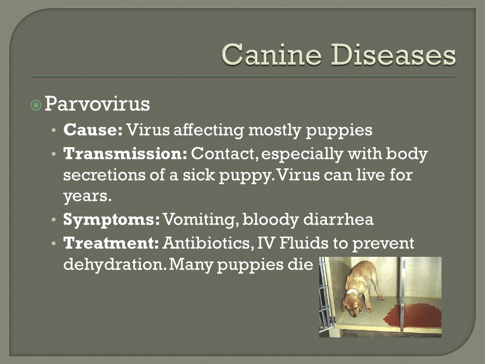  Parvovirus Cause: Virus affecting mostly puppies Transmission: Contact, especially with body secretions of a sick puppy.