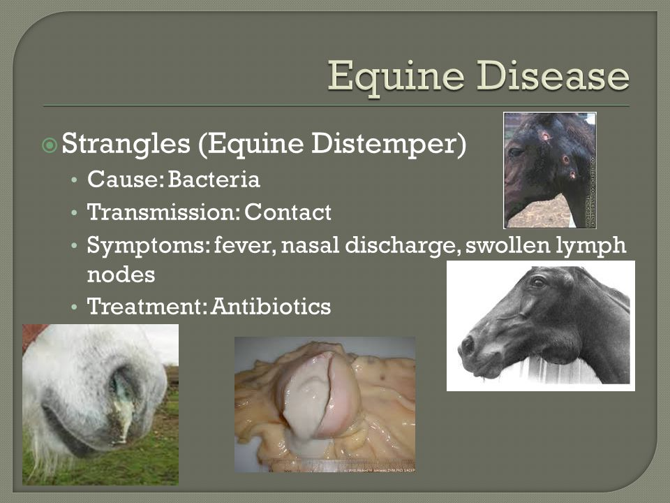 Strangles (Equine Distemper) Cause: Bacteria Transmission: Contact Symptoms: fever, nasal discharge, swollen lymph nodes Treatment: Antibiotics