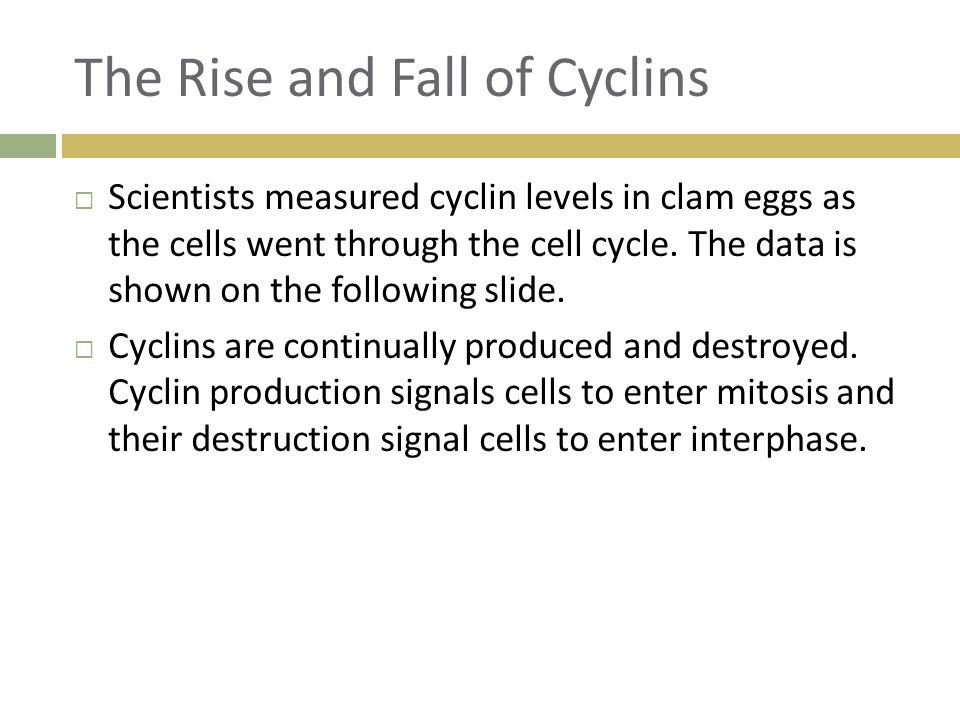 The Rise and Fall of Cyclins  Scientists measured cyclin levels in clam eggs as the cells went through the cell cycle. The data is shown on the follo