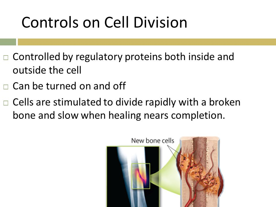 Controls on Cell Division  Controlled by regulatory proteins both inside and outside the cell  Can be turned on and off  Cells are stimulated to di