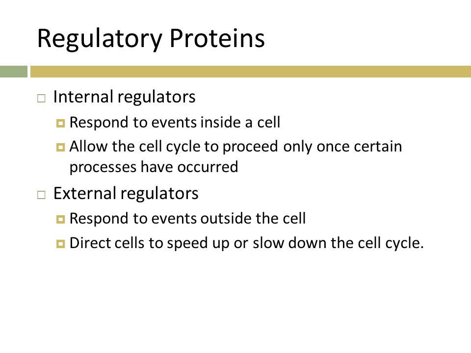 Regulatory Proteins  Internal regulators  Respond to events inside a cell  Allow the cell cycle to proceed only once certain processes have occurre