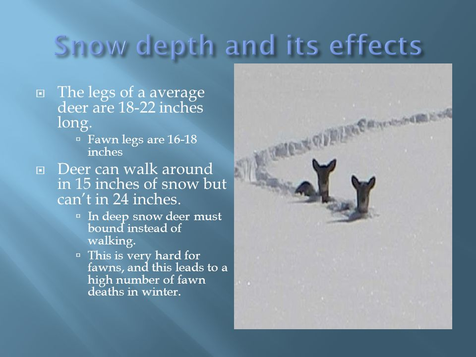  The legs of a average deer are 18-22 inches long.